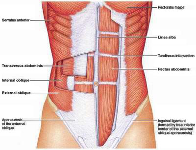 abdominal core anatomy