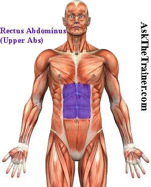 Rectus abdominis upper abs