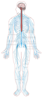 Human Anatomy Diagram of Nervous System