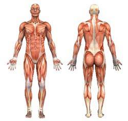 Human Body Anatomy Diagram AskTheTrainer