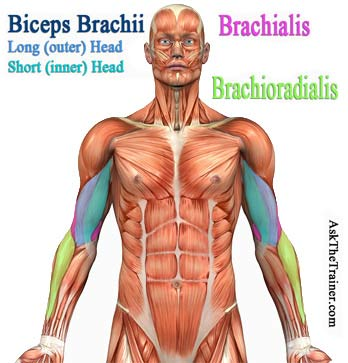 best biceps exercises - bicep mass building anatomy