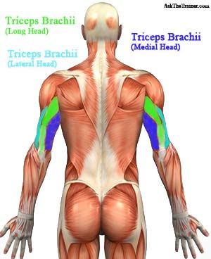 Triceps Muscle Anatomy