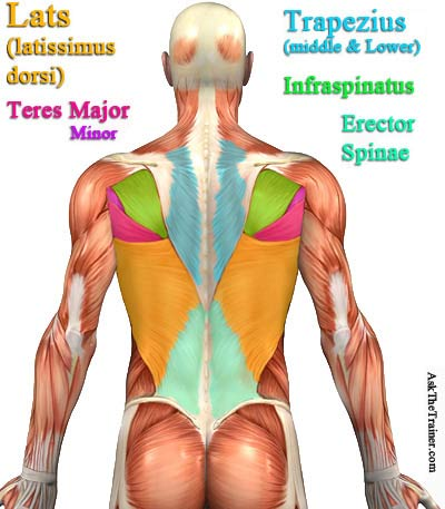 best back exercises - back anatomy