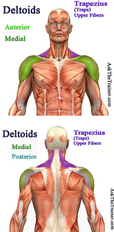 Best Shoulder Workout for Men: Shoulder Anatomy