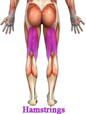 hamstrings muscle anatomy