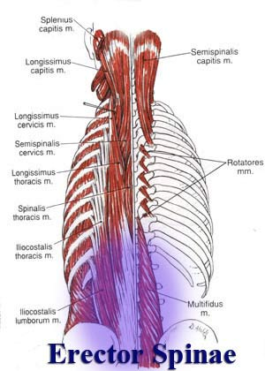 Erector Spinae Muscle Anatomy