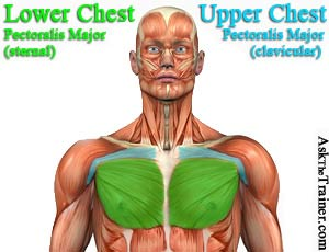 bench push ups for the pectoralis major chest muscles