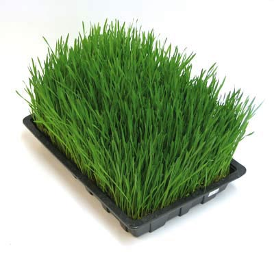 Wheat grass Super Food
