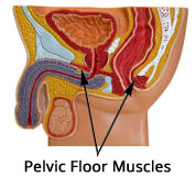 pelvic floor muscles male anatomy