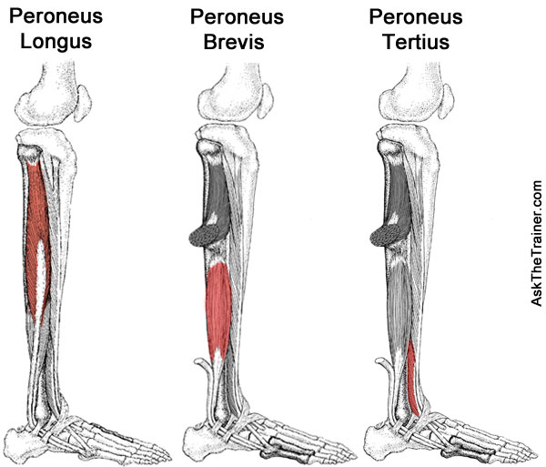 Strengthening Exercises for the Peroneal Muscles