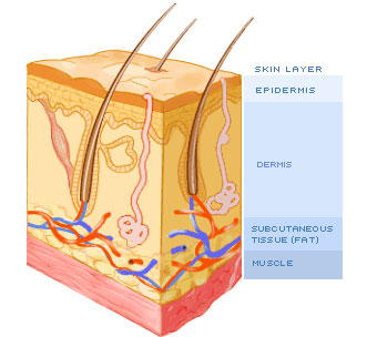 fat muscle layer