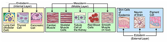 endoderm mesoderm ectoderm layers